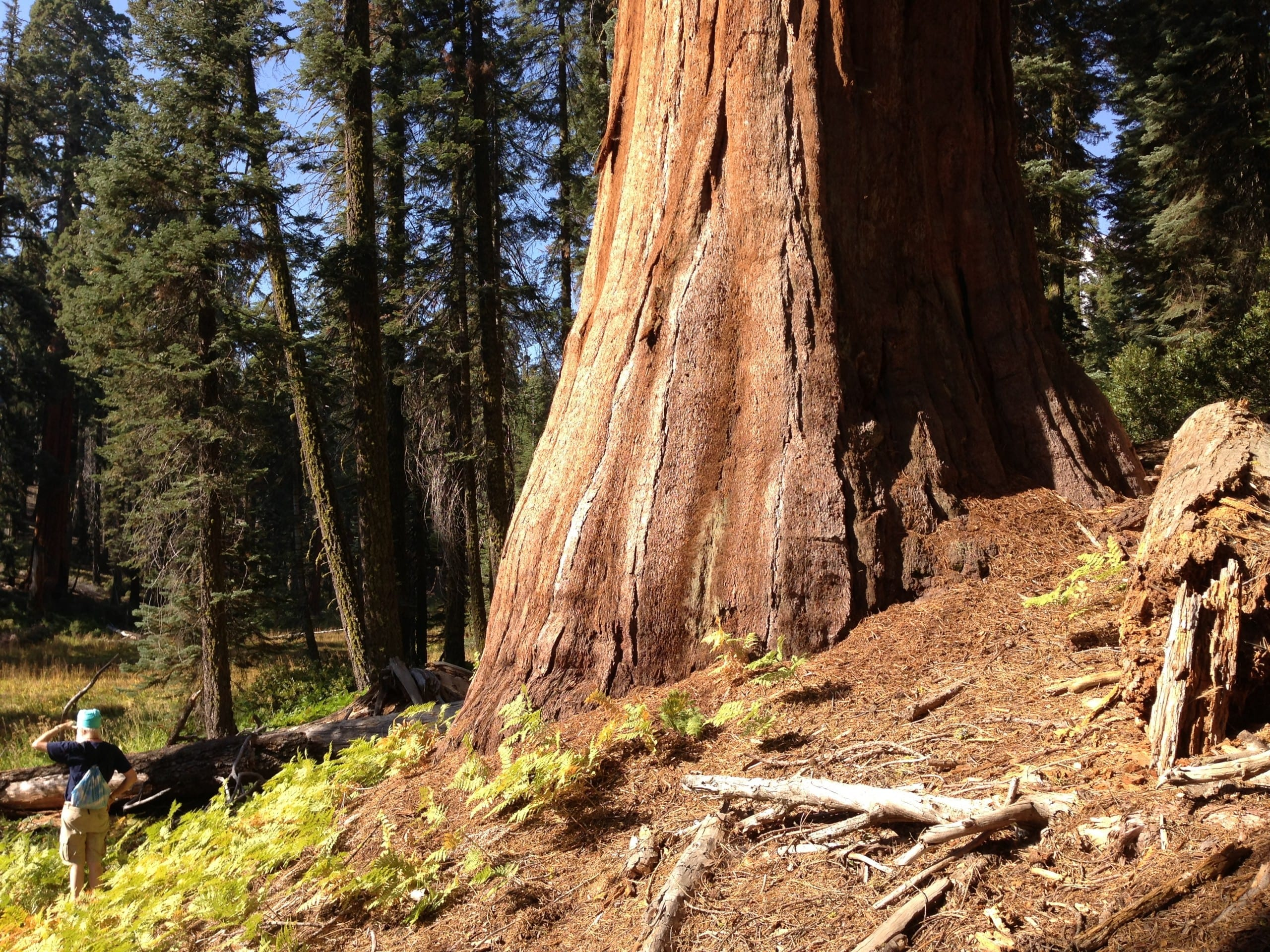 Kartar next to Sequoia tree